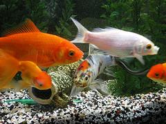 flickr:Fische