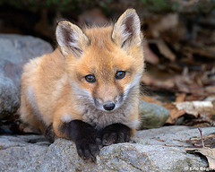 flickr:fox